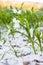Stock Image : Cottonwood fluff