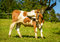 Stock Image : Cow
