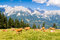 Stock Image : Cows in Alps