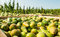 Stock Image : Crates with picked pears in the orchard