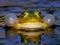 Stock Image : Croaking Bubble Frog