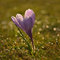 Stock Image : Crocus flower