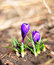 Stock Image : Crocuses