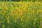 Stock Image : Crotalaria juncea