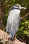Stock Image : Crowned heron bird