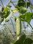 Stock Image : Cucumber in the vegetable garden
