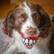 Stock Image :  Cuidado dental del perro de la diversión