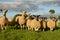 Stock Image : Curious sheep