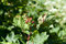 Stock Image : Currant aphid blisters