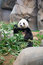 Stock Image : Cute Giant Panda
