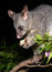 Stock Image : Possum holding bitten apple