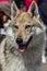 Stock Image : Czech Wolfdog
