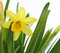 Stock Image : Daffodil on white