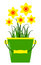 Stock Image : Daffodils in bucket