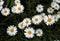Stock Image : Daisies