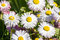 Stock Image : Daisy flowers