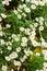 Stock Image : Daisy flowers