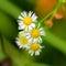 Stock Image : Daisy
