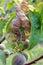 Stock Image : Damaged leaf peach.