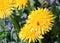 Stock Image : Dandelion