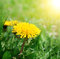Stock Image : Dandelions on a green grass