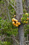 Stock Image : Darwin's Fungus or Indian Bread (Cyttaria darwinii)
