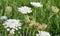 Stock Image : Daucus carota.
