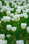 The blooming white tulip in the spring.