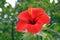 Stock Image : De bloem van Amaryliss