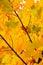 Stock Image :  De gele Bladeren van de Esdoorn