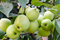 Stock Image : De groene appelen groeien in de tuin op een tak