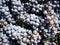 Stock Image : De oogst van de druif