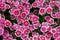 Stock Image : De roze zoete bloemen van William