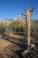 Stock Image : Dead Saguaro