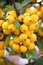 Stock Image :  Decoratieve gele appelen