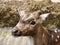 Stock Image : Deer Eating
