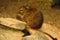 Stock Image : Degu in Cute Pose