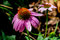 Stock Image : Detailed Closeup of a Beautiful Pink or Purple Coneflower