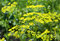 Stock Image : Dill branches with flowers