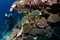 Stock Image : Diver watch oriental sweetlips, Maldives