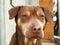 Dog head portrait Rhodesian Ridgeback