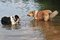 Stock Image : Dogs in water