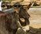 Stock Image : Donkey.