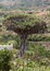 Stock Image : Dragon tree