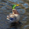 Stock Image : Duck in water