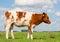 Stock Image : Dutch calf