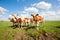 Stock Image : Dutch calves