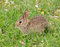 Stock Image : Eastern Cottontail rabbit