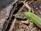 Stock Image : Eastern Green Lizard (female)