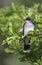 Stock Image : Eastern Kingbird Profile
